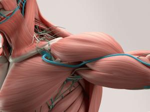 ¿Por qué es necesaria esta categorización de los grupos musculares?